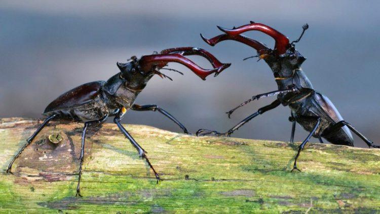 Битва жуков-оленей
