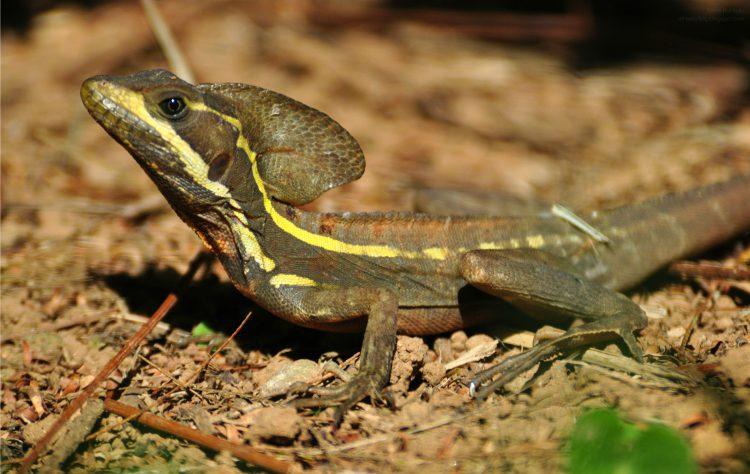 Жабовидная ящерица или василиск