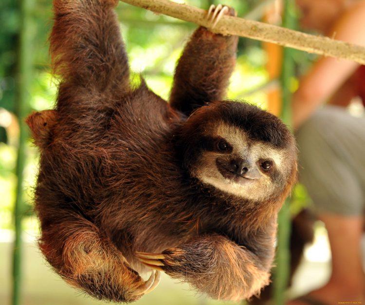 Ленивцы в висячем положении