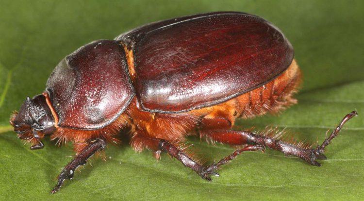 Жук таракан-носорог