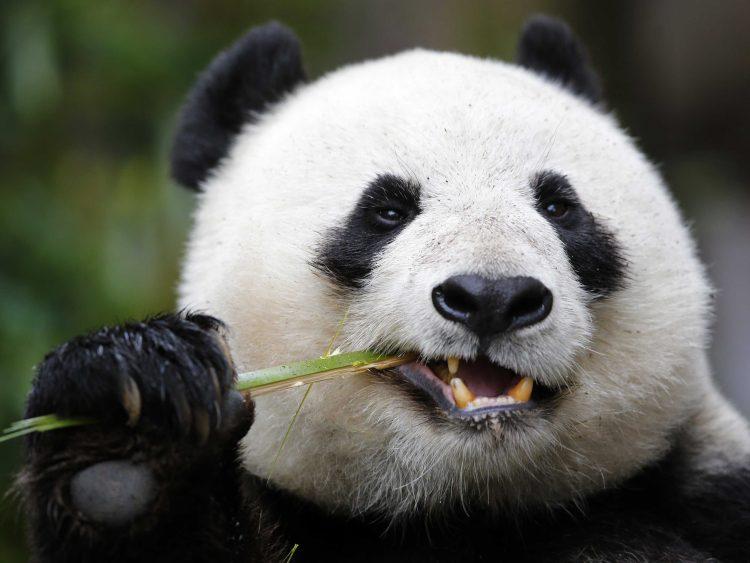 Панда поедает бамбук