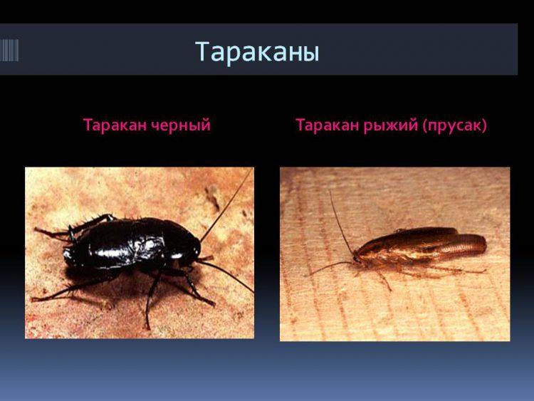 Черный и  рыжий тараканы