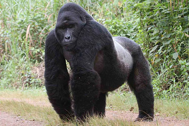 Тело гориллы