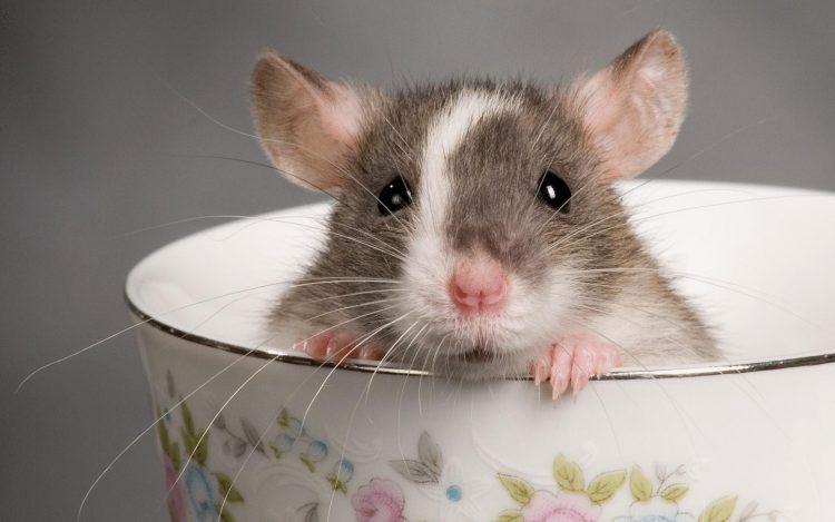 снятся крысы