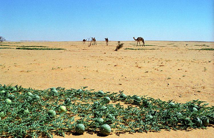 Африка - родина арбузов