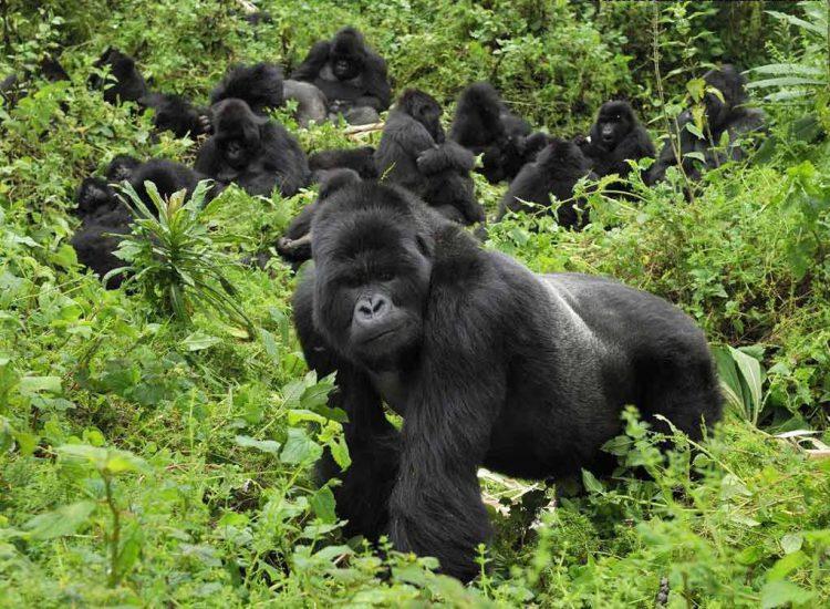 Где живут гориллы