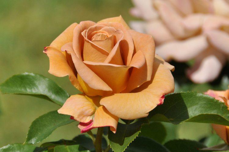 Роза Дижон