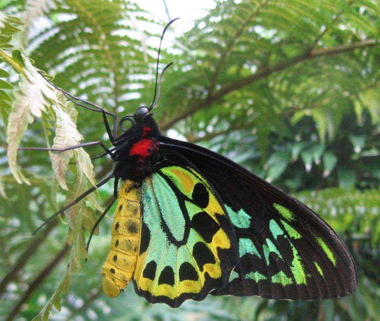 Бабочка птицекрылка королевы Александры