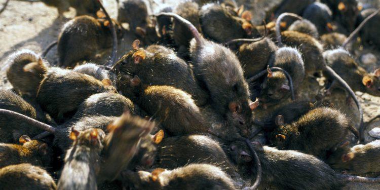 полчище крыс