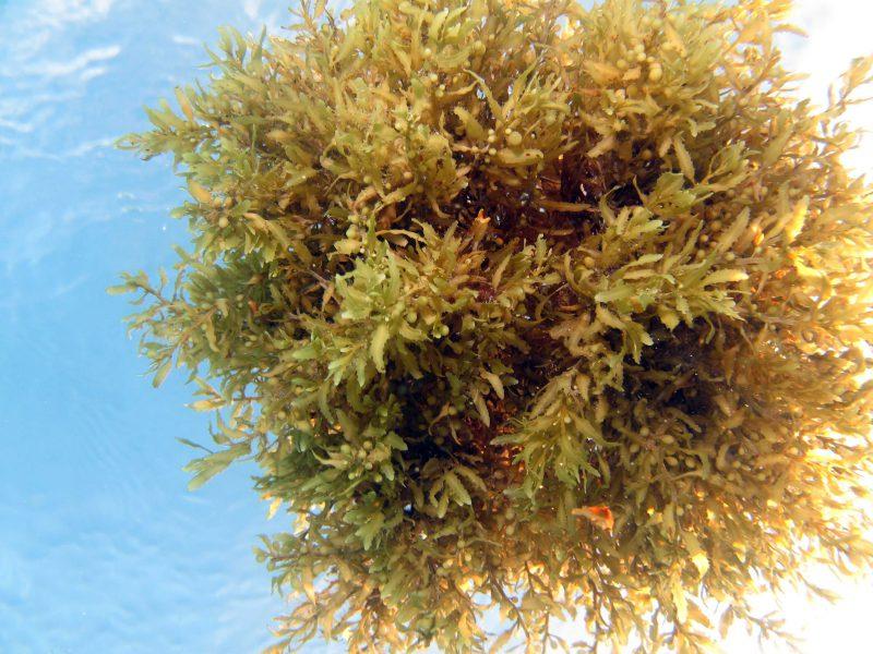 floating-sargassum-seaweed