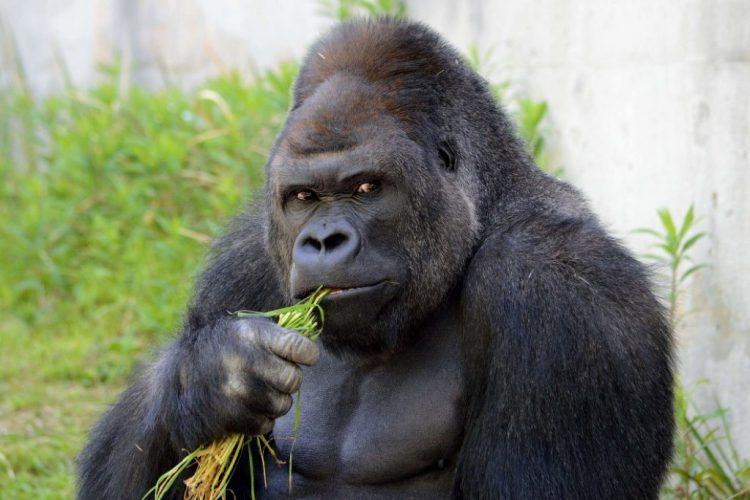 Чем питается горилла