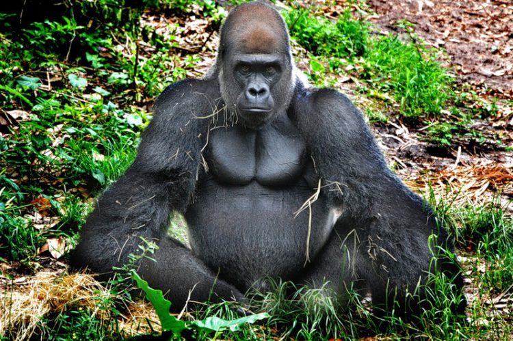 Самая крупная порода обезьян
