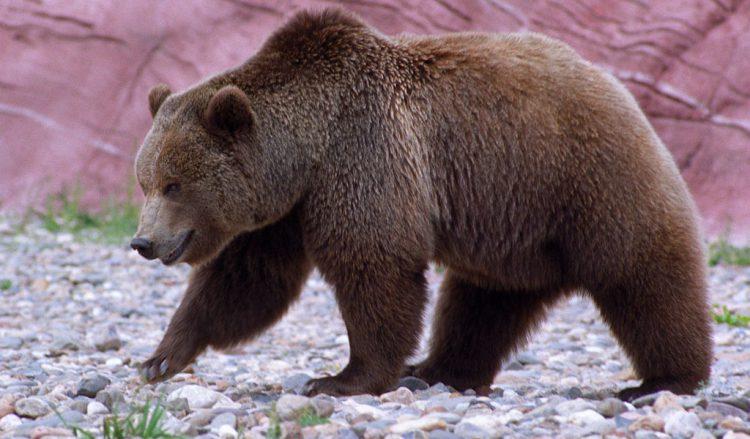 Медведь гризли