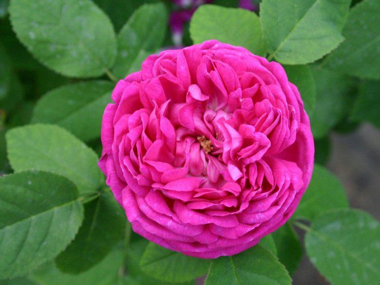 Роуз де Решт