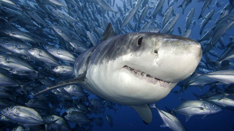 рыбы и акула