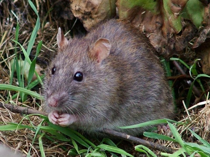 Большая серая крыса