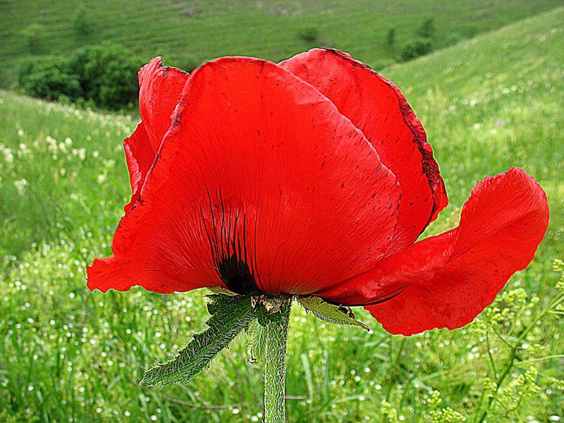 Тюльпан – эндемик Кавказа.