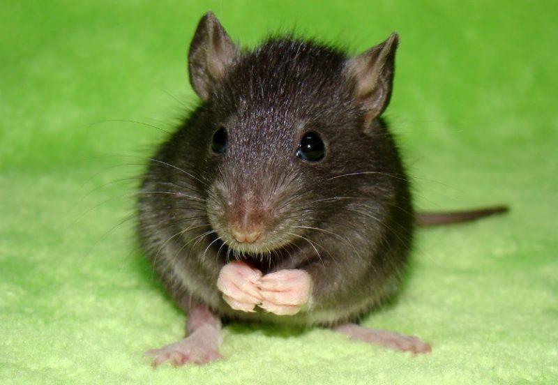 Туркестанская крыса