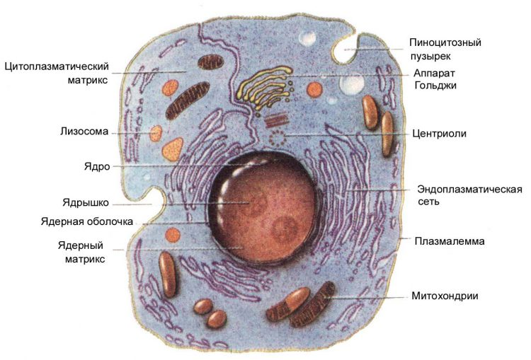 клетка ядро