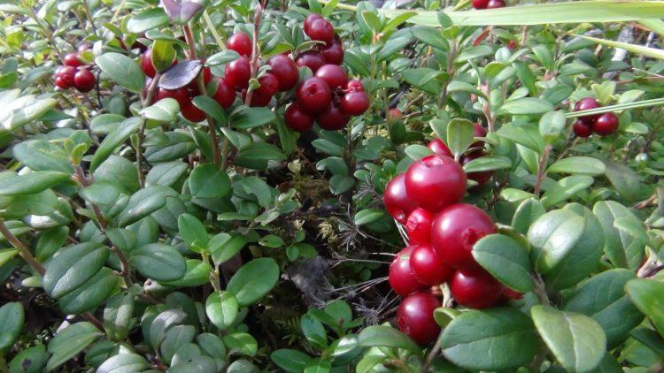 Осенняя ягода брусника