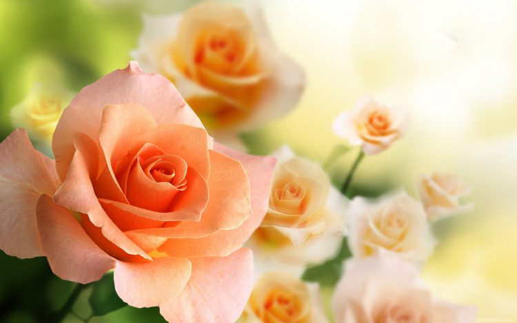 Уход в комнатных условиях за чайной розой