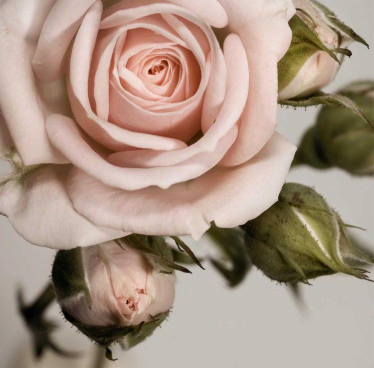 Полезные свойства чайной розы