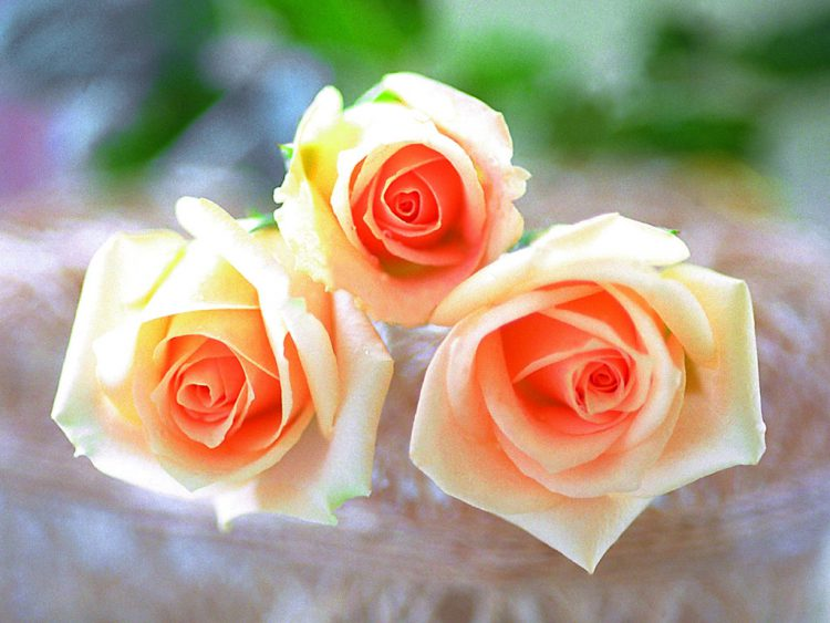 Как вырастить чайную розу дома