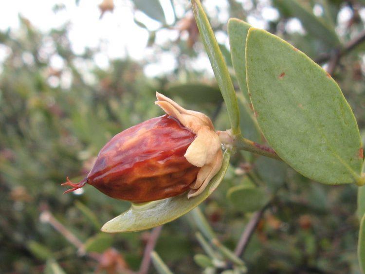 Растение жожоба, из которого получают масло