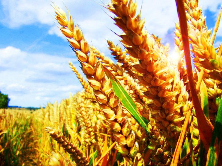 сельскохозяйственная культура