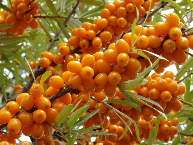 Осенняя ягода облепиха