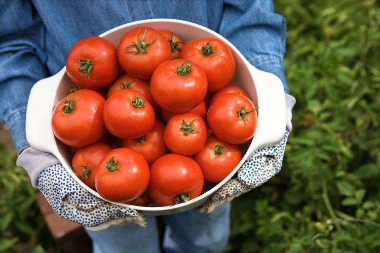 Собственный урожай помидоров с грядки