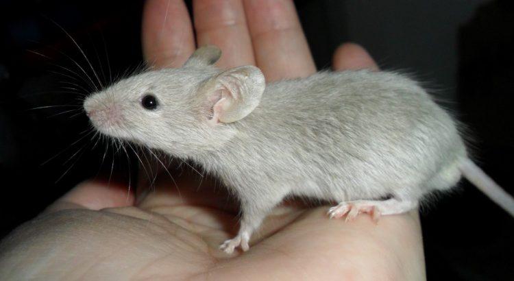 приснилась мышь