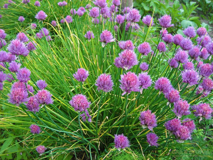 Как выращивать шнитт-лук