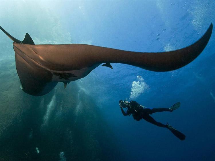 Морской дьявол – крупнейший крылатый скат