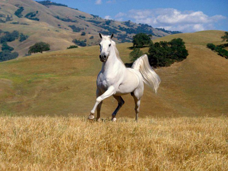 Наполеон боялся белых лошадей
