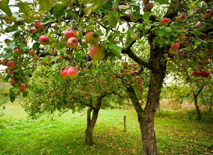 Яблони в саду осенью