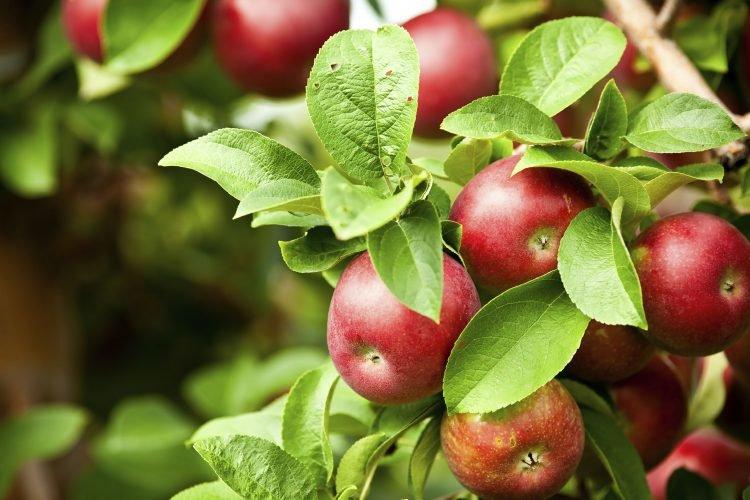 Как подготовить яблони к зиме