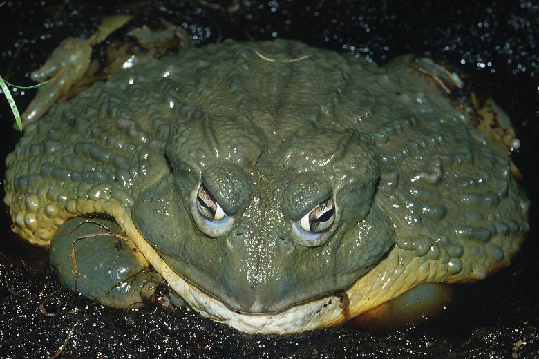 Голиаф - исчезающий вид лягушек