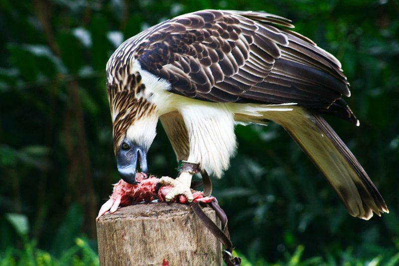 Чем питается самый большой орел в мире?