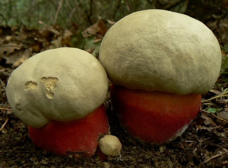 сатанинский белый гриб