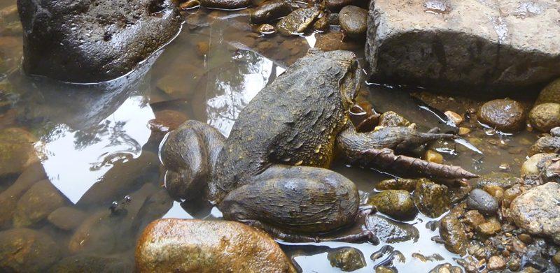 Среда обитания лягушки-голиафа