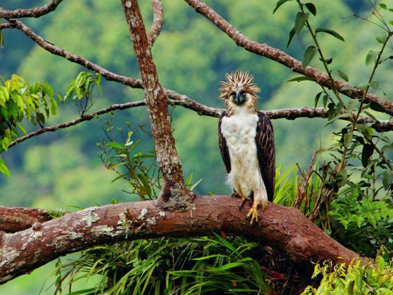 Место обитания филиппинской гарпии