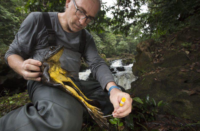 Забота о самых больших лягушках в национальном парке