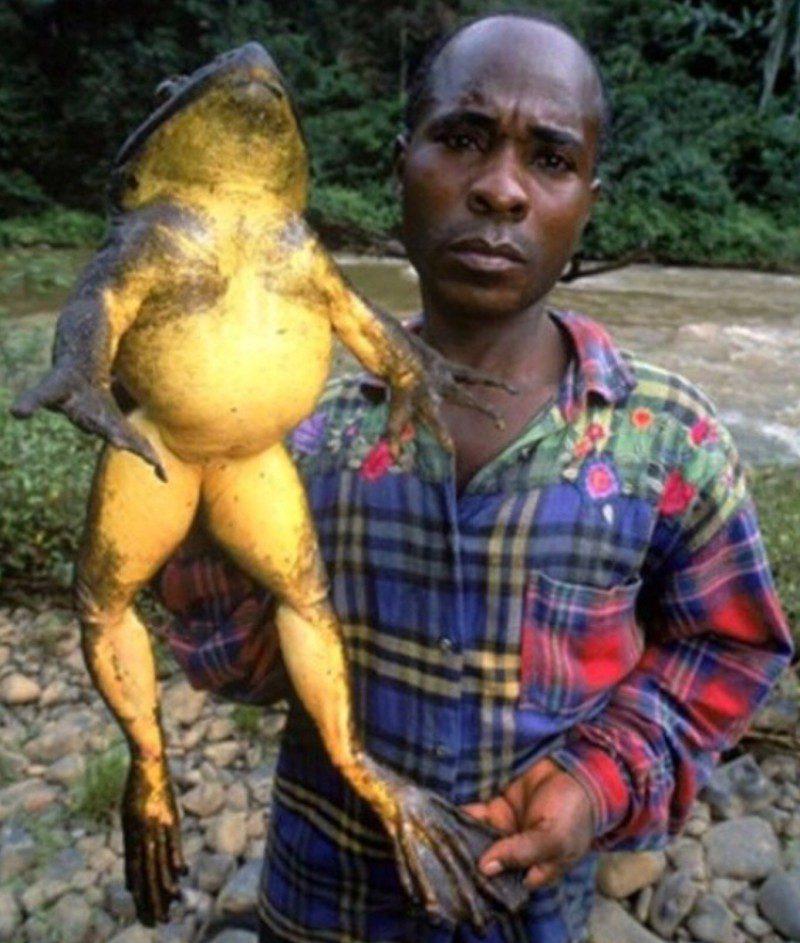 Размеры лягушки голиафа