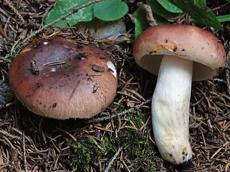 как выглядят грибы-сыроежки