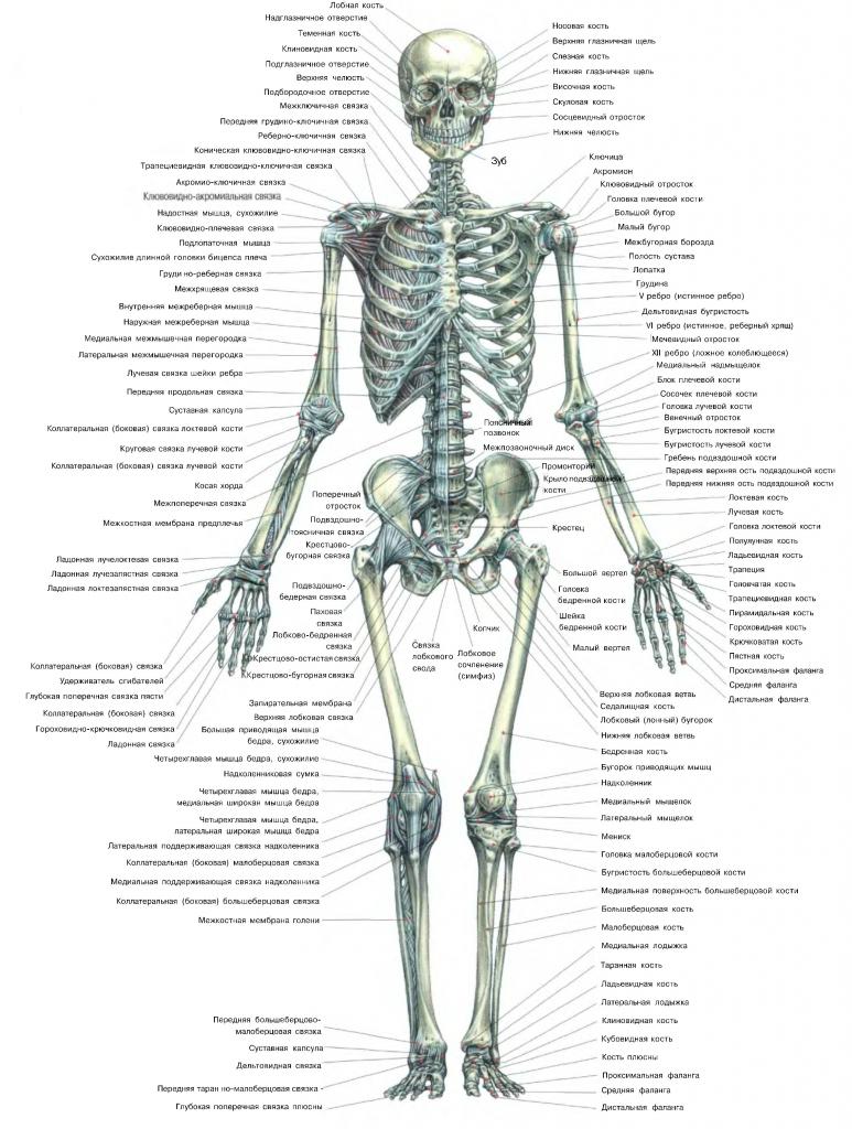 Сколько костей у человека