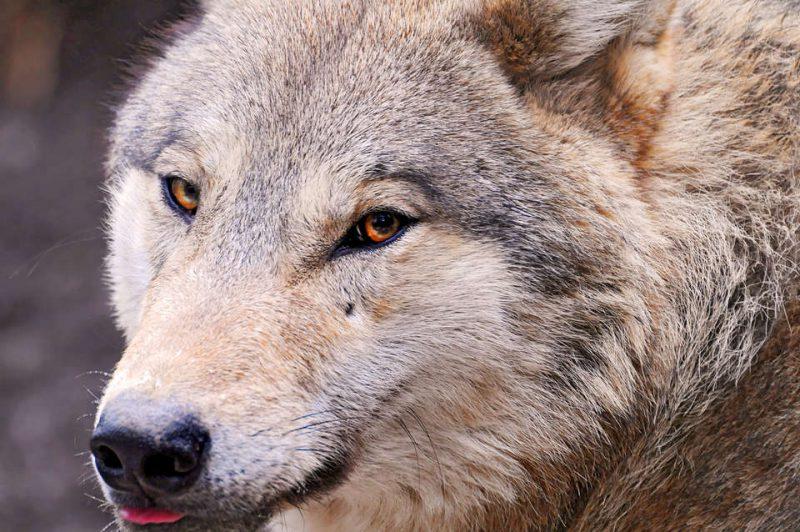 Передняя часть головы волка
