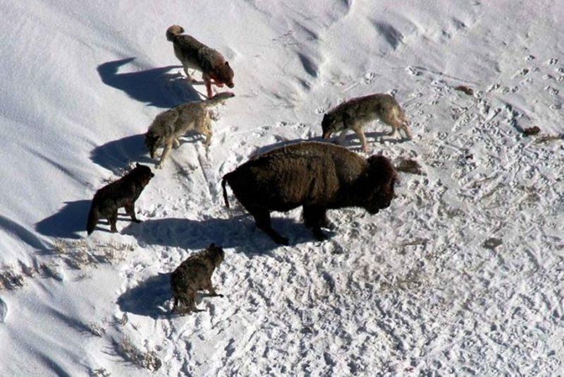 Охота волков