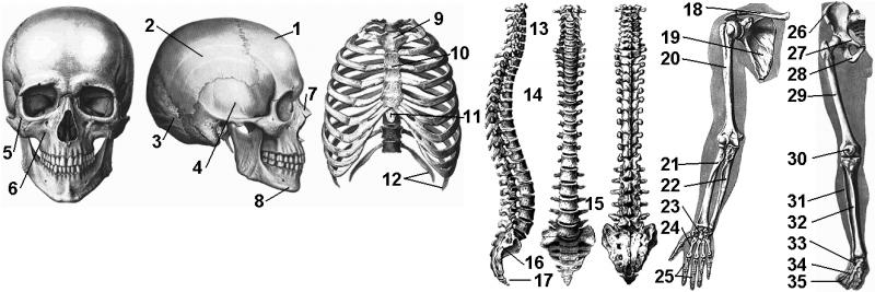 кости в разрезе