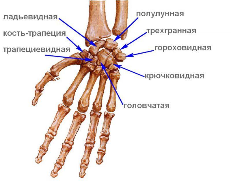 кости руки